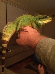 Adult male Chinese Water Dragon