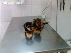 . Damos estos cachorros en adopcion , somos clinica veterinaria SAnta Maria de Gracia en MUrcia . Damos de regalo estos cachorros  , solo tienes que ponerle el chip y la primera vacuna , antiparasitos  . LLamanos