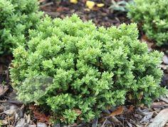 hebe as a hedge | Hebe varieties | Garden Plants | Pinterest