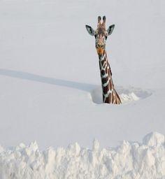 Giraffe im Schnee up to my neck in snow------ what???