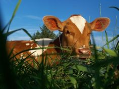 Raising a more self-sufficient milkcow.