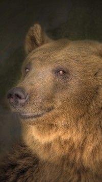 Głowa niedźwiedzia brunatnego