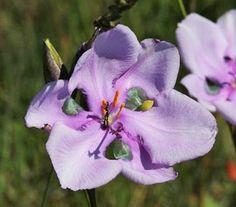 Aristea Aristea biflora semená