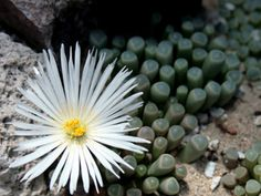 Fenestraria rhopalophylla - Baby's Toes is an evergreen, perennial succulent, up to 6 inches (15 cm) tall. Not present or very reduced stem...