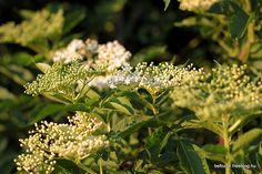blooming elderflowers at sunset Bloom, Sunset, Plants, Kitchen, Recipes, Cooking, Kitchens, Recipies, Sunsets