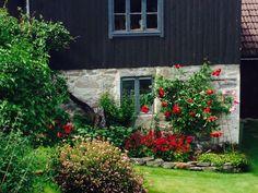 Klatrerose fra en gammel hage på Sandane.
