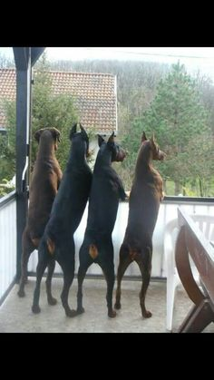 #Doberman #breed on the lookout
