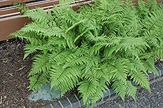 Lady in Red Fern (Athyrium filix-femina 'Lady in Red') at Gertens