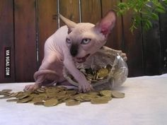 While iw ould never harm an animal in any way, i could never love one of these hairless devil-cats.