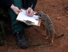 Zookeeper Sarah Hall helps count meerkats as part of the annual census at the Bristol Zoo, Jan. 2, 2013, in Bristol, England. The annual count is carried out at the start of each year and takes stock of more than 400 species. (Matt Cardy/Getty Images)