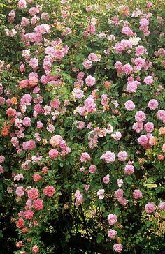 'Lady Waterlow' climbing rose