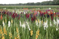 Gladiolus borde synas oftare i svenska trädgårdar. Se till att välja härdiga sorter eller odla dem i kruka för att lättare plocka in dem till vinterförvaring precis som dahlior. I övrigt är gladioler förvånansvärt lättskötta och belönar dig med vackra blommor på höstkanten.