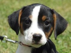 Buzz is an adoptable Terrier Dog in Lexington, NC. Buzz came from a litter of 12. He and his entire litter were named from the movie 'Toy Story'. The mother came up to a lady's porch pregnant and had ...