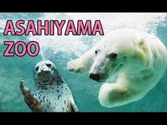 ASAHIYAMA ZOO - The coldest zoo in Japan ★ 旭山動物園 寒~ぃ旭川市 - YouTube  OVER 1,000 KM NORTH OF TOKYO