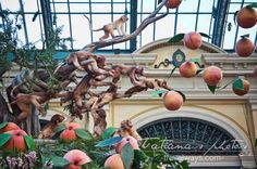 Macaque monkeys and peaches at Bellagio gardens and conservatory Chinese New Year 2016, New Years 2016, Las Vegas Attractions, Year Of The Monkey, New Year Celebration, Conservatory, Monkeys, Peaches, Gardens