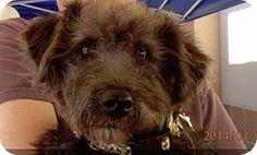 Wylie, TX - Standard Schnauzer/Poodle (Miniature) Mix. Meet Romeo a Dog for Adoption.