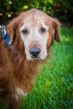 This is Trooper - 11 yrs. His owner passed away. He is neutered, current on vaccinations, potty trained, knows basic commands. He is cautious with new people. Golden Retriever Rescue of Southwest Florida. - https://www.petfinder.com/petdetail/29662444/ - http://www.grrswf.org/index-15.html