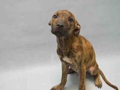 POOR SWEETHEART!!! Brooklyn Center BLAKE – A1092446 MALE, BR BRINDLE / WHITE, AM PIT BULL TER MIX, 8 mos STRAY – STRAY WAIT, NO HOLD Reason STRAY Intake condition ILLNESS Intake Date 10/05/2016, From NY 11207, DueOut Date 10/08/2016,