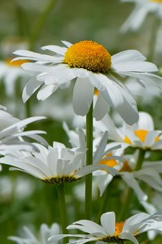 photo ... daisies ...