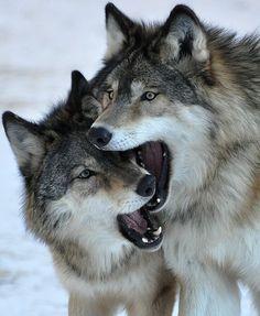 Artíc Wolves