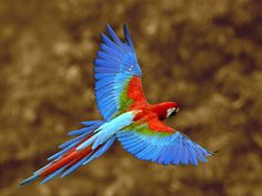 Colombian macaw