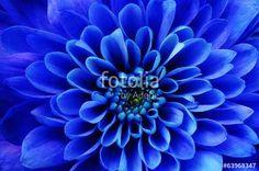 """Pobierz zdjęcie royalty free  """"Macro of blue flower aster"""" autorstwa fullempty w najniższej cenie na Fotolia.com. Przeglądaj naszą bazę tanich obrazów online i odnajdź doskonałe zdjęcie stockowe do Twoich projektów reklamowych!"""