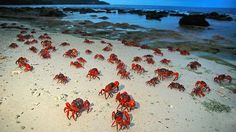 The annual red crab migration on Christmas Island, off the west coast of Australia, which David Attenborough has described as one of the most spectacular wildlife events on the planet. Picture: Justin Gilligan Source: Supplied