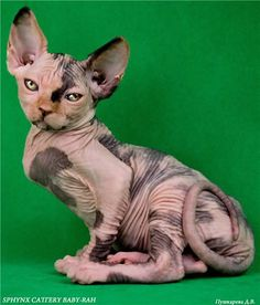 Tortie sphynx cat?#Repin By:Pinterest++ for iPad#