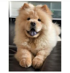 Cute Dogs Breeds, Cute Dogs And Puppies, Baby Dogs, I Love Dogs, Dog Breeds, Doggies, Perros Chow Chow, Chow Chow Dogs, Cute Funny Animals