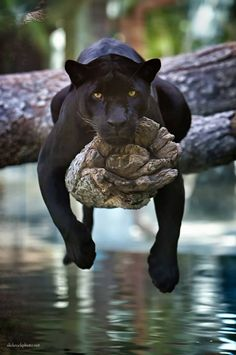 Jaguar. Photograph by CHARLIE BURLINGAME: http://slickrockphoto.net/