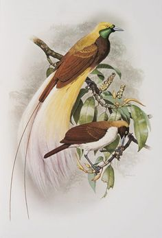 Lesser Bird of Paradise from the 'Rituals of Seduction: Birds of Paradise' exhibition -- William T. Cooper