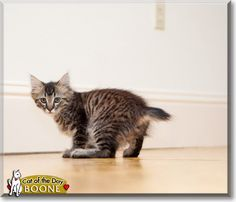 Read Boone the Bobtail, Maine Coon mix's story from Emeryville, California and see his photos at Cat of the Day http://CatoftheDay.com/archive/2010/August/10.html .