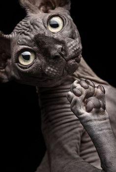 #sphynx #cat by Patrick Matte opawz.com  supply pet hair dye,pet hair chalk,pet perfume,pet shampoo,spa....
