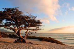 # http://bestwesterncalifornia.com/pinterest?cm_mmc=FM-_-Pinterest-_-Pinpg-_-CA  Monterey Cypress in Carmel by the Sea, #California