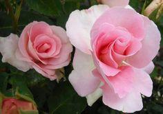 Marinette rose