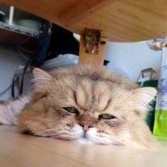 ものすごく気だるそうな猫が話題にw