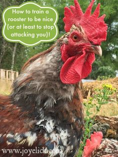 How to train a rooster to be nice (or at least to stop attacking you). | Farm Girl Inspirations