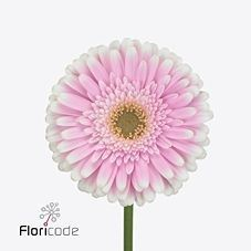 Gerbera Maxime is a pretty Pink/White cut flower.Very popular for wedding and event flowers. Start planning your day with Triangle Nursery now! Wholesale Flowers for Everyone | visit the website at www.trianglenursery.co.uk or follow us on social, Facebook, Instagram, LinkedIn, Youtube and much more @trianglenursery
