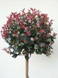 1000 images about photinia fraseri 39 little red. Black Bedroom Furniture Sets. Home Design Ideas