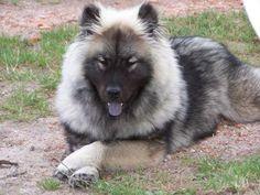 Eurasier my dream dog