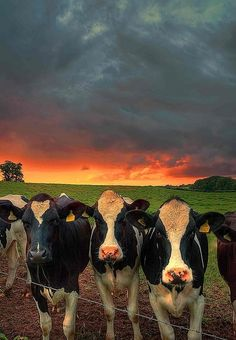 i want this to hang on my wall :)  Cows with sunset behind them