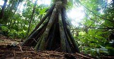 Το δέντρο που...περπατάει!