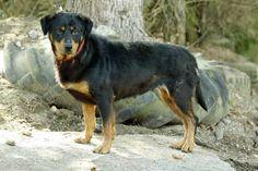 Zefi, geb. 2012 kleine, verträgliche #Rottweiler Hündin, verteidigt (noch) ihr Futter, wartet in einem #Tierheim im Ausland auf ihre Reise nach Deutschland. http://zergportal.de/baseportal/tiere/Anzeige_Hunde&Id=522916.html
