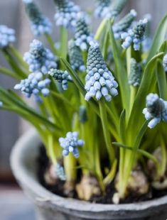 Landscaping Software - Offering Early View of Completed Project Spring Time Blue Muscari Flowers, Daffodils, Tulips, Spring Bulbs, Spring Blooms, Spring Flowers, Blue Garden, Colorful Garden, Landscaping Software
