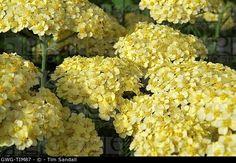 Common Yarrow 'Martina' (Achillea millefolium)