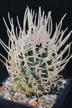 Pediocactus specie