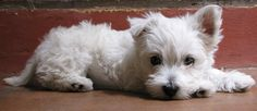 Until you have loved an animal, a part of your soul remains asleep.  Westie Love