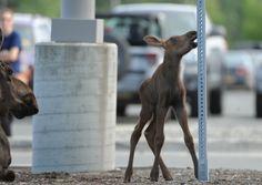 Moose gives birth in Lowe's parking lot in Alaska