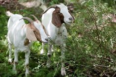 Two goats eat Japanese barberry, an invasive plant, at Hawk Mountain. | Reading Eagle - BERKSCOUNTRY