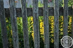 #Cosmos in the #Garden - Behind Wooden Fences - #gardening #flowers #nature